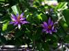 Starflower-Lavender-2005-04-11-0001