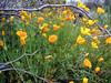 Poppy-Mexican Gold -2005-02-21-0003