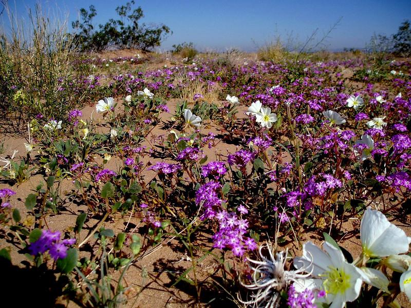 Verbena-Desert Sand-2004-03-14-0001