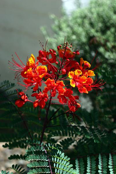 V-Red Bird of Paradise-2007-05-05-0001