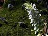 Sedum-2003-07-29-0001