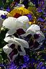 V-Mixed-Pansy-2007-04-15-0001