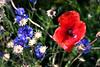 Poppy-California-2005-08-29-0001