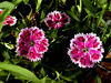Pinks-2003-07-29-0001