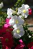 V-Petunia-2007-04-14-0001