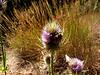 Wild Teasel-2003-07-25-0001