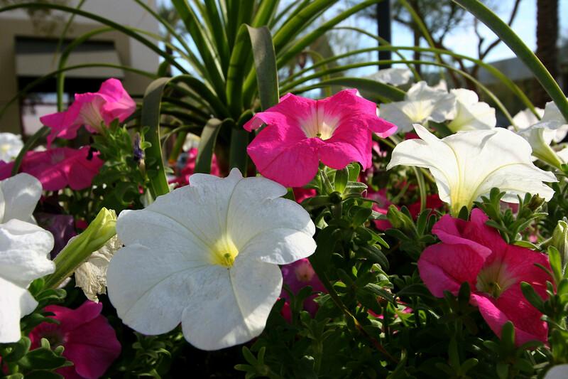 Petunia-2005-12-26-0001
