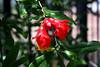 Pomegranate-2005-05-01-0002