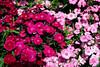 Pinks-2006-04-09-0001