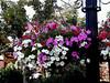 Petunia-2003-08-01-0005