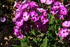 Phlox-Maculata-2005-08-24-0001