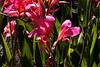 Watsonia-Spectabilis-2005-08-24-0006
