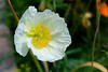 Poppy-California-2006-04-09-0001