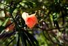 Oleander-Apricot-2006-05-14-0001