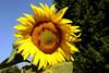 Sunflower-2005-08-24-0001