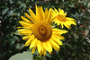 Sunflower-2006-09-14-0001