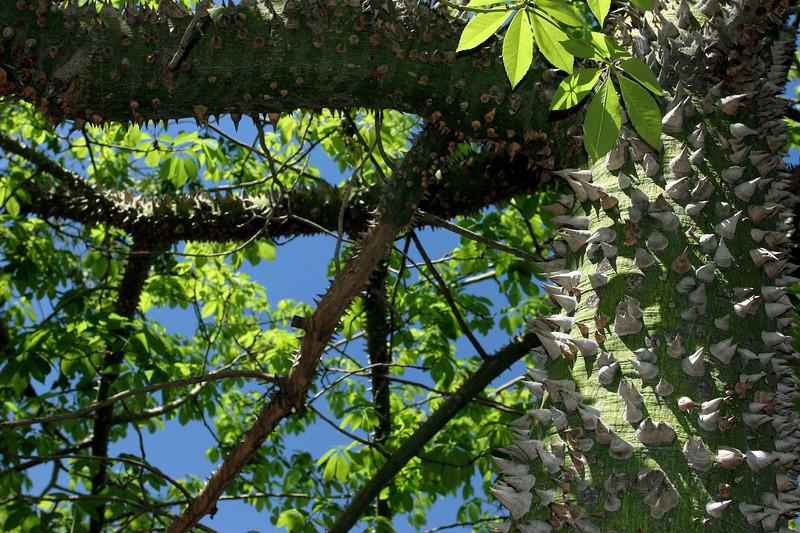 Silkfloss Tree-2005-04-10-0001