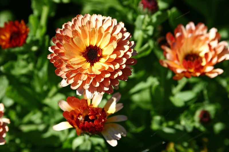 """Strawflower-2006-09-07-0009  <font color=""""Yellow""""> My thanks for the ID Information from </font> <a href=""""http://amkphoto.smugmug.com"""">  Arlene </a>."""