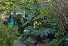 Rhubarb-Prickly-[Gunnera Tinctoria]-2006-09-07-0002