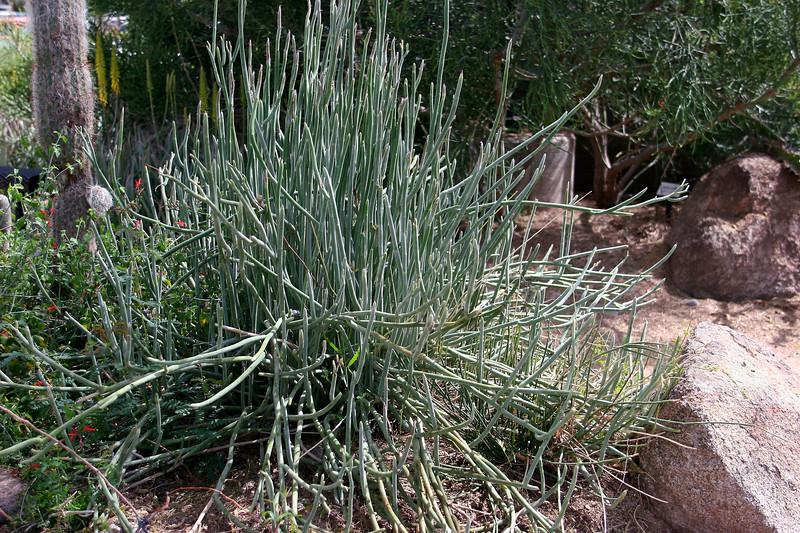 Pine Needle Milkweed-2006-04-09-0001