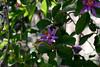 Starflower-Lavender-2005-04-11-0002