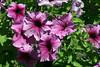 Petunia-2005-08-24-0003
