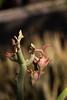 Slipper Plant-2008-06-22-0001