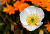 Poppy-California-2006-04-09-0002