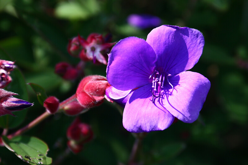 Princess Flower-[Tibouchina Urvillena]-2006-09-07-0001