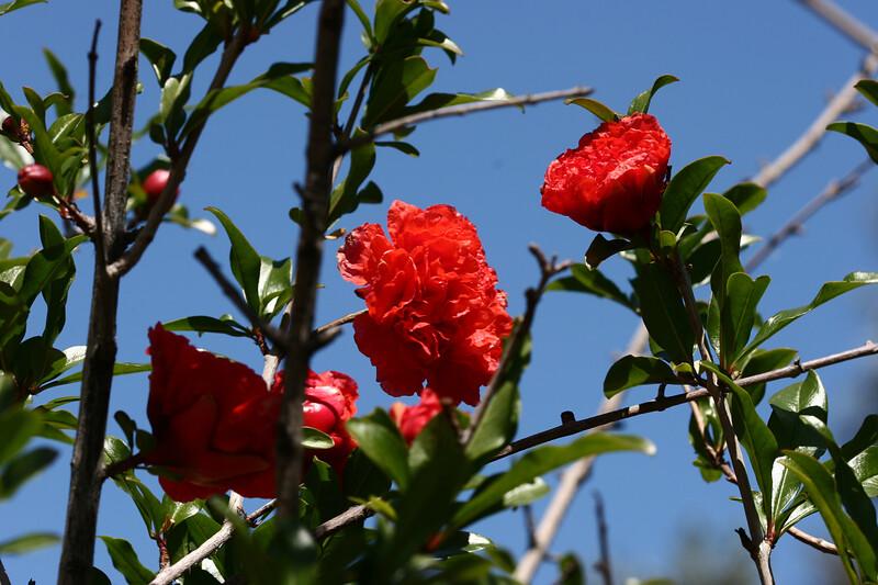 Pomegranate-2007-04-01-0001