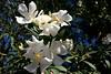 Oleander-White Tree-2005-11-13-0001