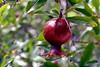 Pomegranate-2005-05-01-0001