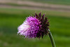 Thistle, Musk