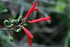 Penstemon-Red Shrubby-2006-04-09-0001