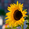 Sunflower-2010-02-14-0001