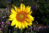 Sunflower-2005-08-23-0001