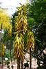 V-Cactus-Aloe Sp-2005-05-01-0001