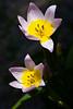 Tulip, Candida-2010-03-28-0002