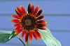 Sunflower-2005-07-23-2001