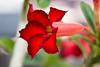 Rose of the Desert-2010-03-28-0002