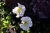 Petunia-2005-08-29-0002
