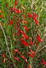 Penstemon-Red Shrubby