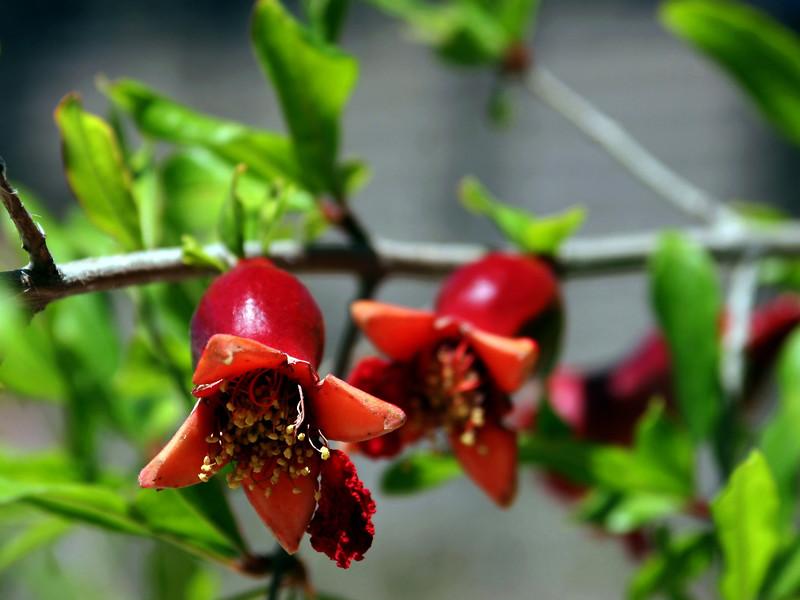 Pomegranate-2005-04-10-0001