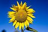 Sunflower-2010--05-16-0001