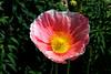 Poppy-California-2006-04-01-0001