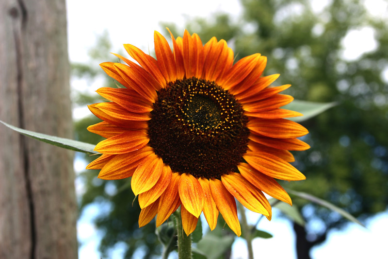 Sunflower-2006-09-14-0003