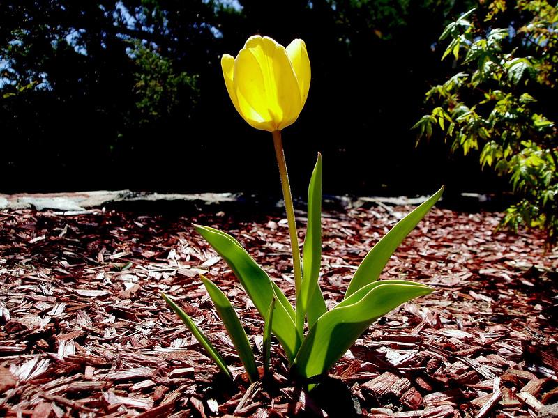 Tulip-2004-03-14-0001