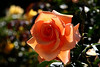 Rose-Julia's Rose-2007-04-01-0002