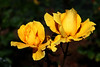Rose-Midas Touch-2006-09-07-0001
