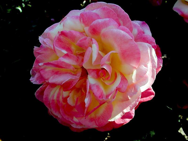 Rose-Papa Gontier-2004-04-18-0001